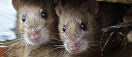 How to Deal with Mice, Pests & Other Wildlife While House Sitting