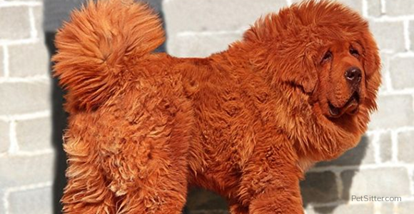 Thinking About Getting A Dog? How About A $1.5 Million Red Tibetan Mastiff?